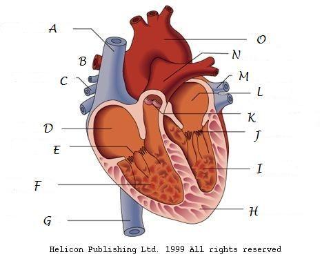 Heart diagram fruit pinterest heart diagram math education heart diagram ccuart Images