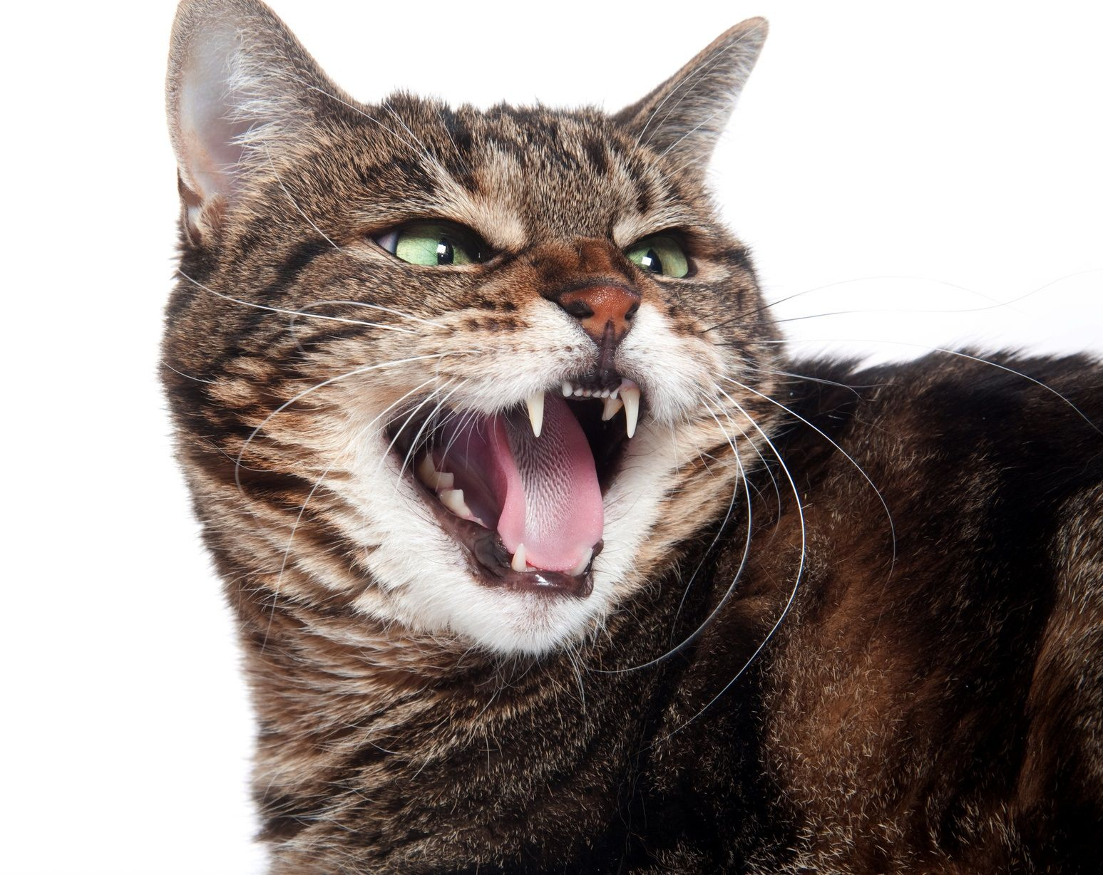 Rabies, The Diagnosis Not To Miss Tabby cat, Cat posters