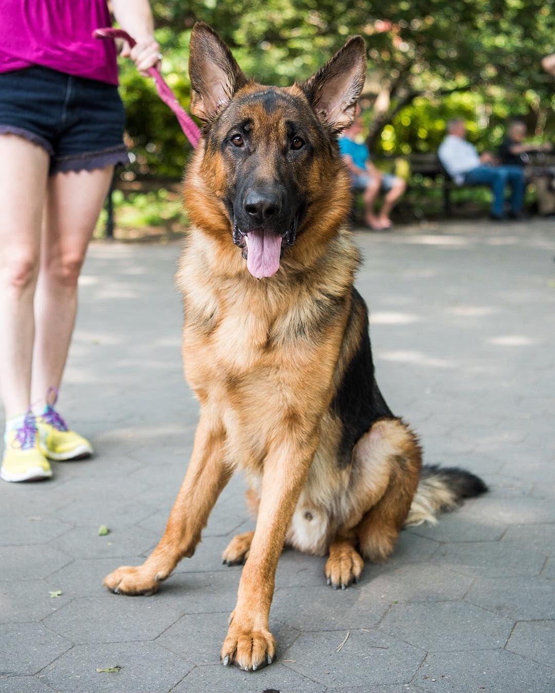 Bruno German Shepherd (1 y/o) Washington Square Park New