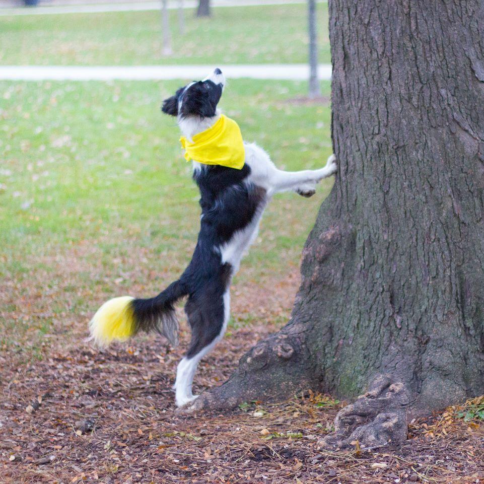 Resultado de imagen para border collie squirrel