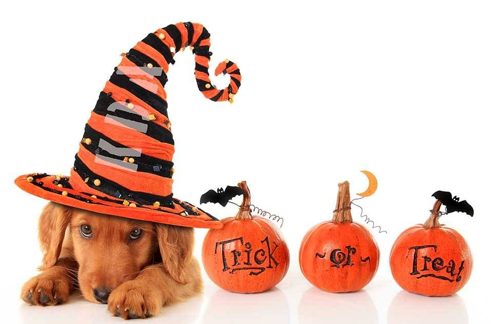 Two Bostons Pet Blog Halloween Pet Safety We Want To Make Sure That You And Your Pets Have A Fun And Safe Halloween Here Are A Few T Halloween Pet Safety