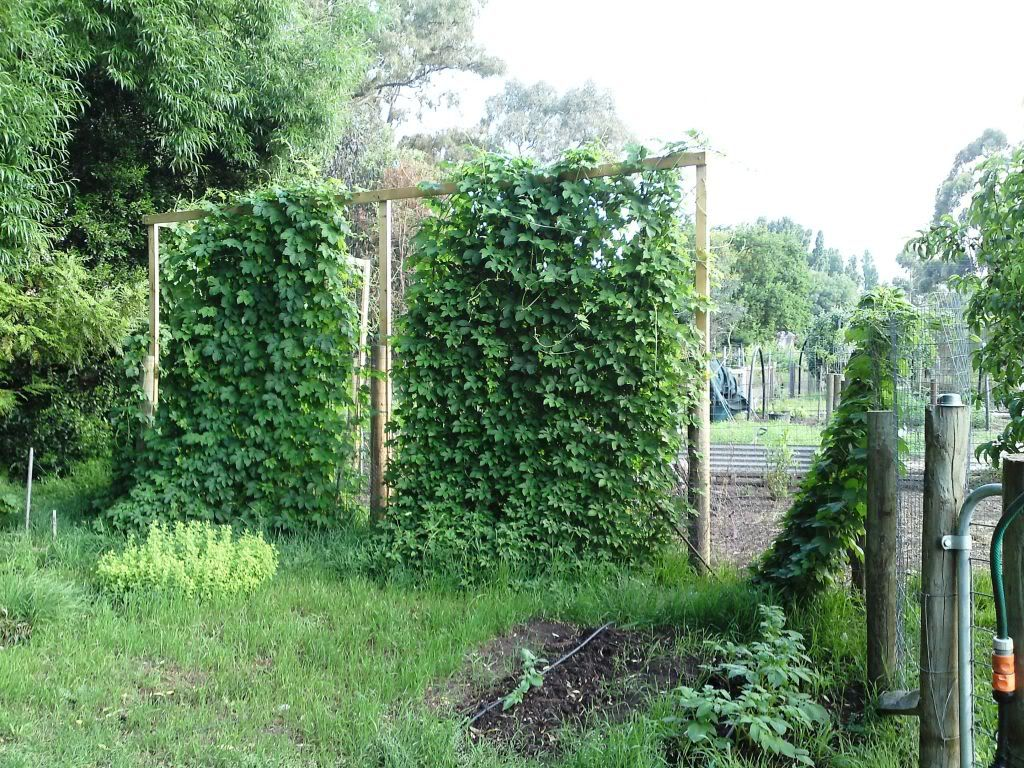 Sweet smelling hops make a wonderful shade vine for an for Fast growing climbing plants for screening