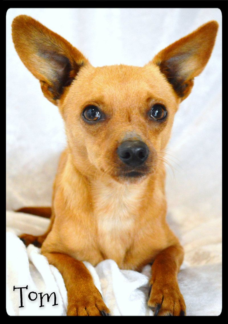 Adopt Tom On Adoption Dogs Chihuahua Dogs
