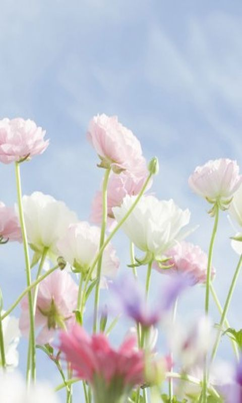 Download 480x800 Delicate Flowers Cell Phone Wallpaper Category Flowers Blumen Wallpaper Blumen Blumen Hintergrund Free spring wallpaper for iphone 8