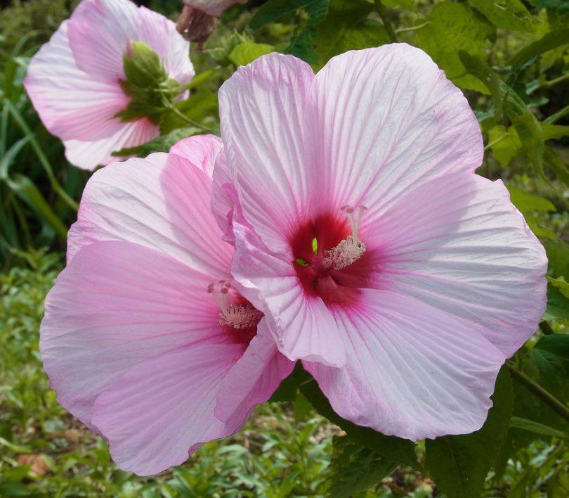 Pink Hibiscus Flower Hardy Hibiscus Moscheutos Hardy Hibiscus Hibiscus Honeysuckle Flower