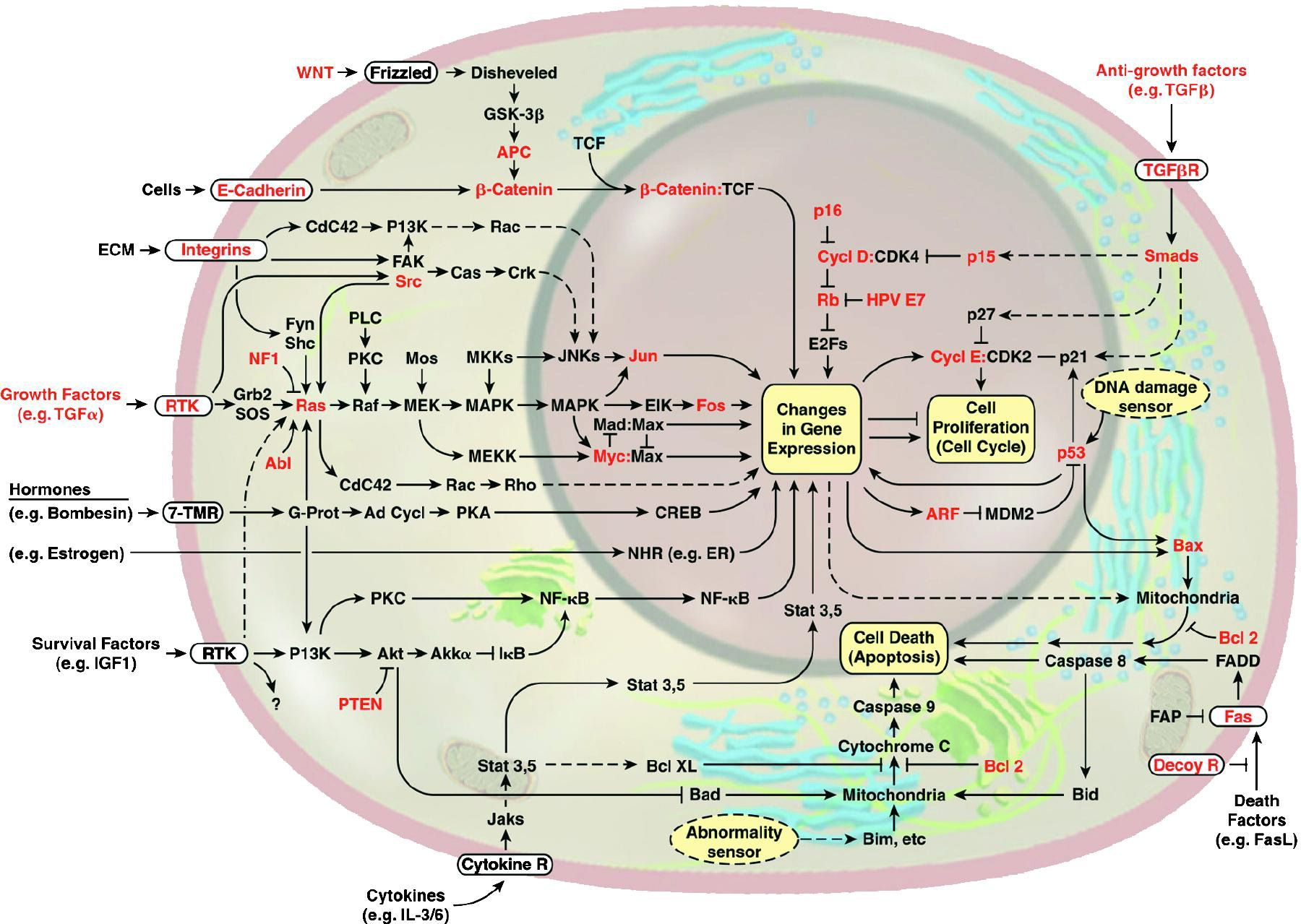 The Emergent Integrated Circuit Of The Cell Signal Transduction Biochemistry Growth Factor