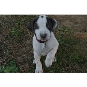 gsp puppies for sale ad 76098 cute pinterest gsp puppies