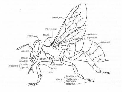 Hornet Anatomy Diagram Rack And Pinion Rebuild Black Wasp Related Keywords Suggestions Amp Bee