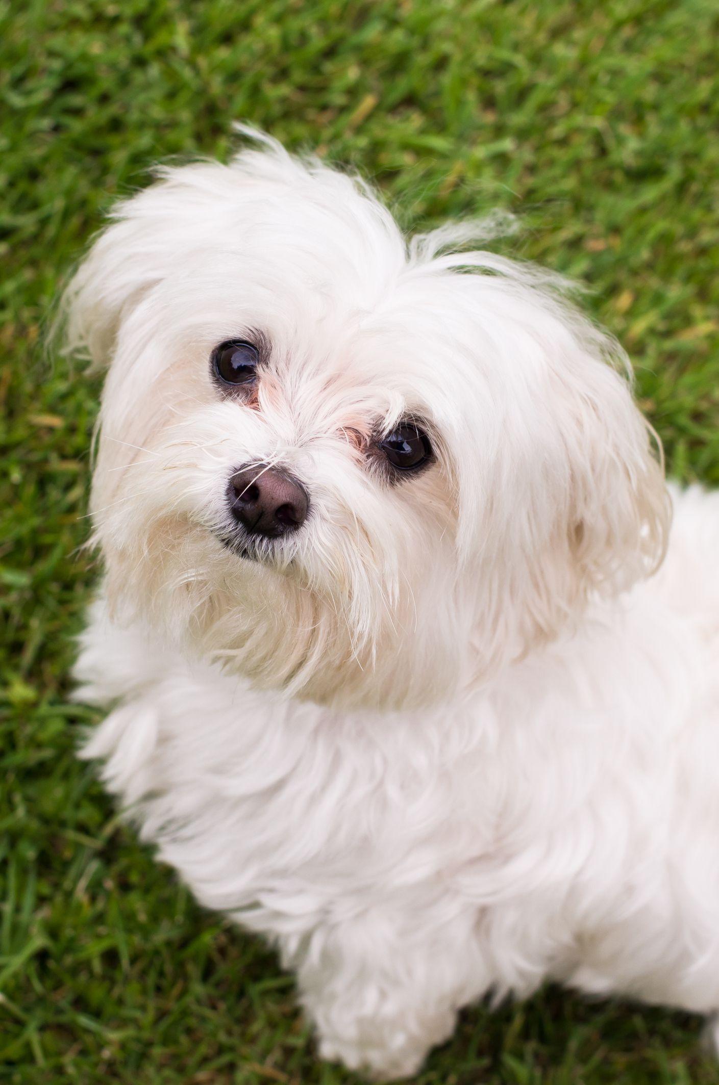 Maltese Tiny Goodnatured Easy To Train Miniature Dog Breeds Teacup