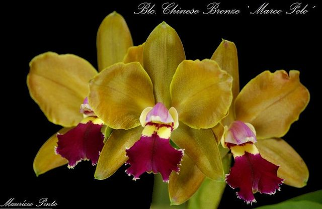 Blc Chinese Bronze Marco Polo Orchid Flower Orchids Flowers