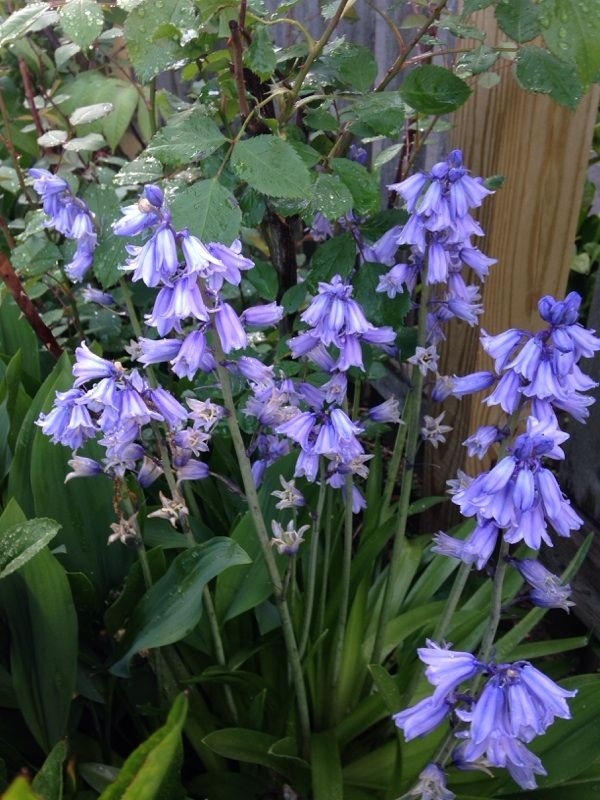 Spanish Bluebells (hyacinthoides hispanica): This looks like Spanish bluebells, or hybrids, which can have blue, white, or pink flowers. The strap shaped leaves and classic waxy flowers are a joy to see in the spring garden. Plants thrive in sun or part shade in almost any soil.   Beautiful flowers!