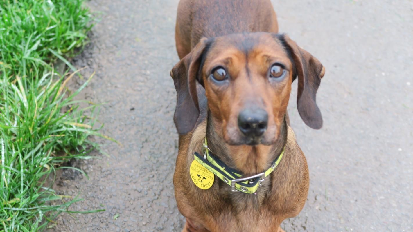 Lily Dachshund Unusual Dog Breeds Dog Adoption Dogs