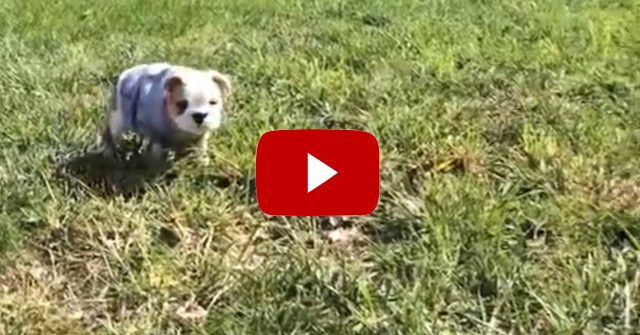 This Tiny Bulldog Puppy Taught Herself The Most Adorable Trick