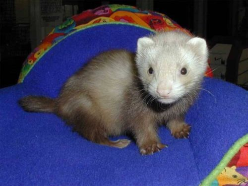 Baby Ferrets 135 In Htown 1711 Connorvale St Baby Ferrets Cute Ferrets Ferrets Care