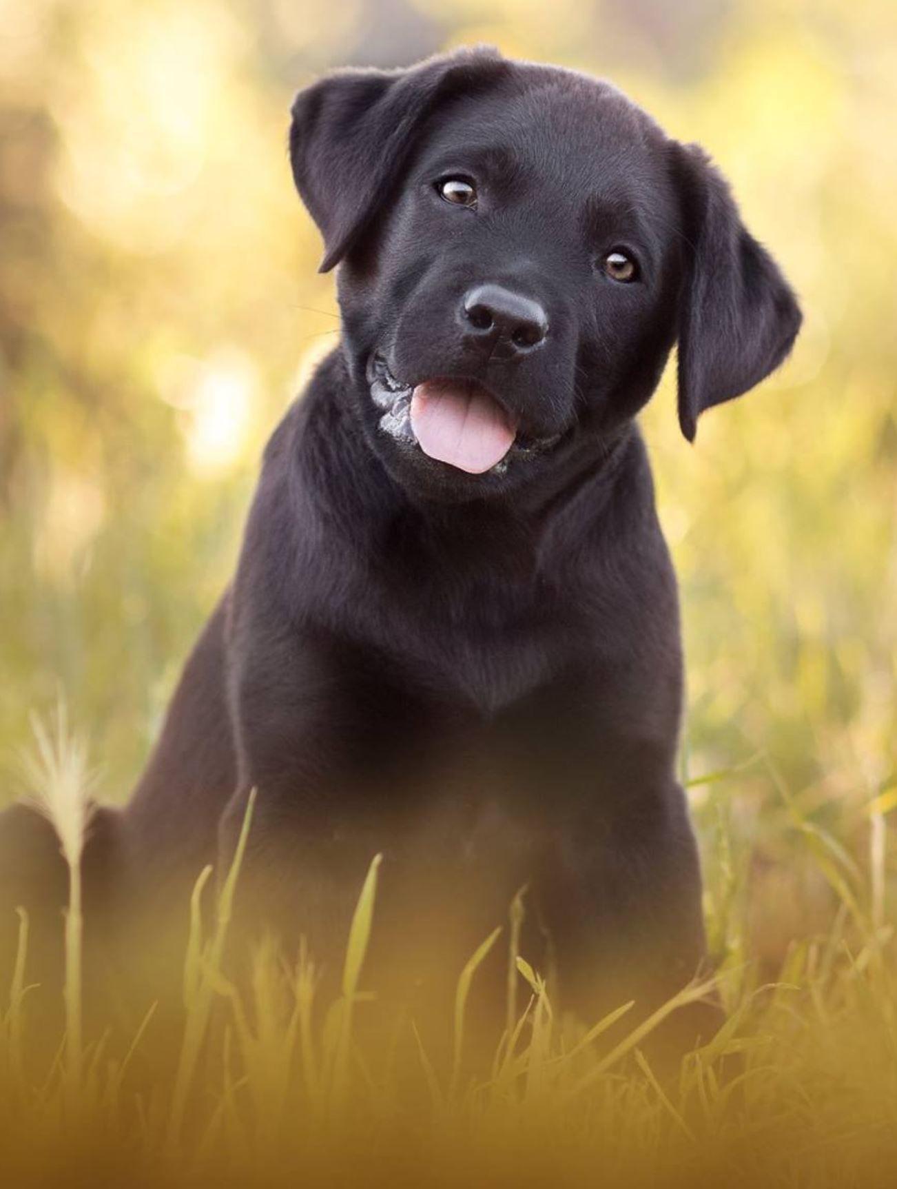 Pourtoujours Photographie Dog Photography Black Lab Labrador Retriever Puppy Labrador Retriever Puppies Labrador Retriever Labrador Retriever Dog