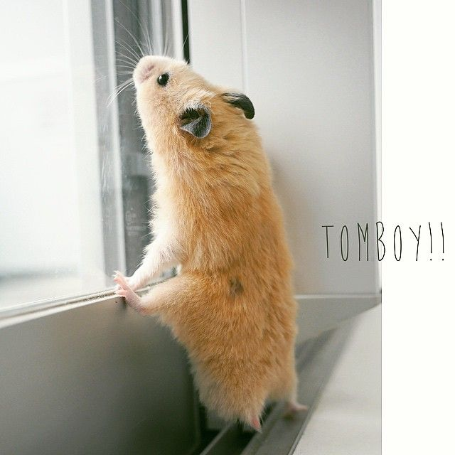 oh, the longing. .. Funny hamsters, Cute hamsters, Cute