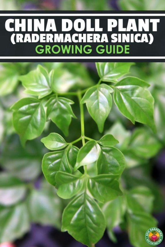 The china doll plant is a compact popular houseplant for its dark green oily foliage Learn exactly how to grow and care for Radermachera Sinica here