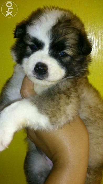 Shihtzu X Japanese Spitz Female Nego Tri Color For Sale