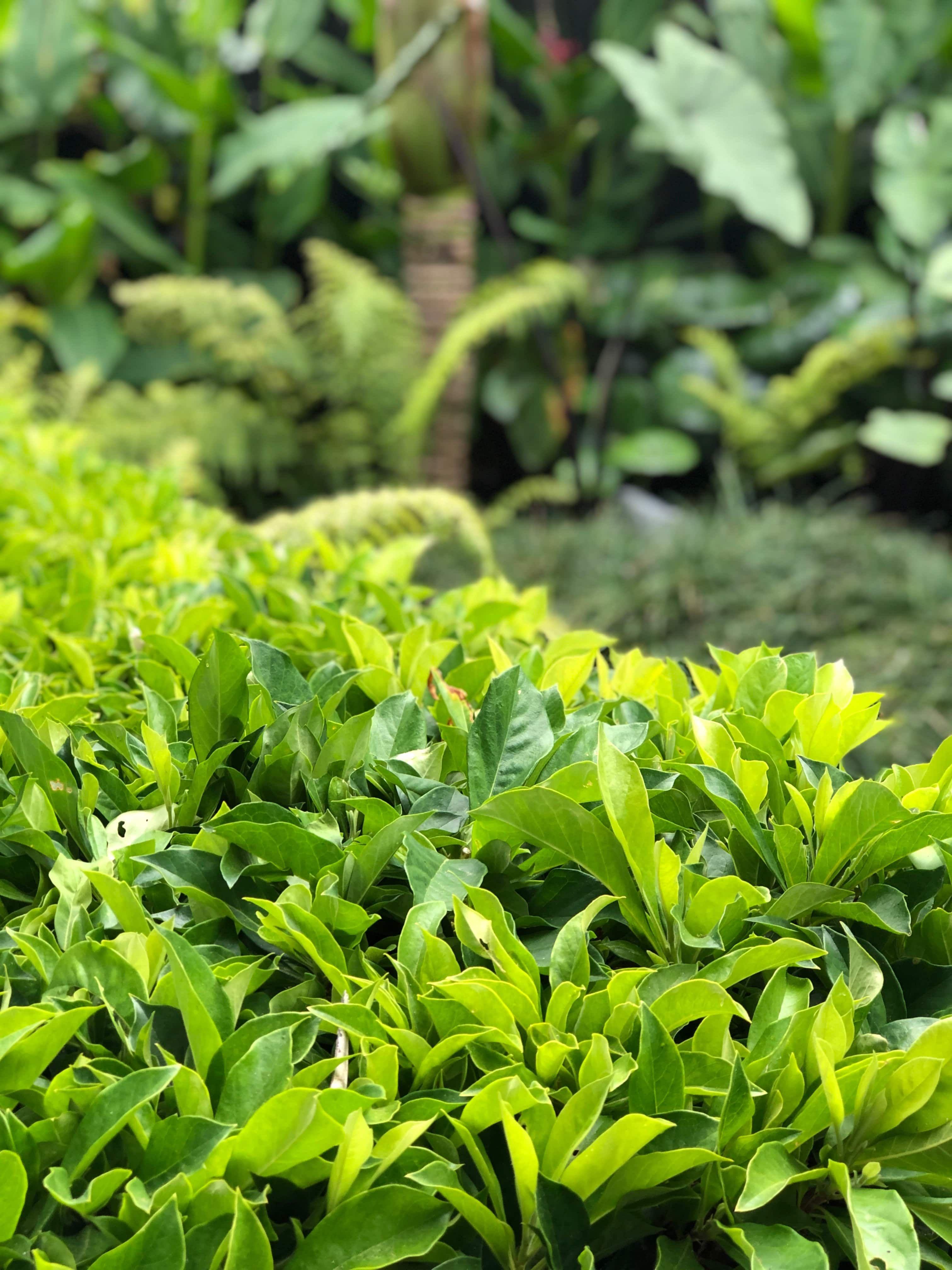 Hymenosporum Gold Nugget | Outdoor ideas | Little gardens