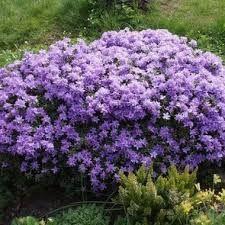 fleuries colores les plantes de terre de buyre donnent du charme votre jardin hortensia camlia magnolia voir toutes nos plantes de bruyres - Planter Un Rhododendron Dans Votre Jardin