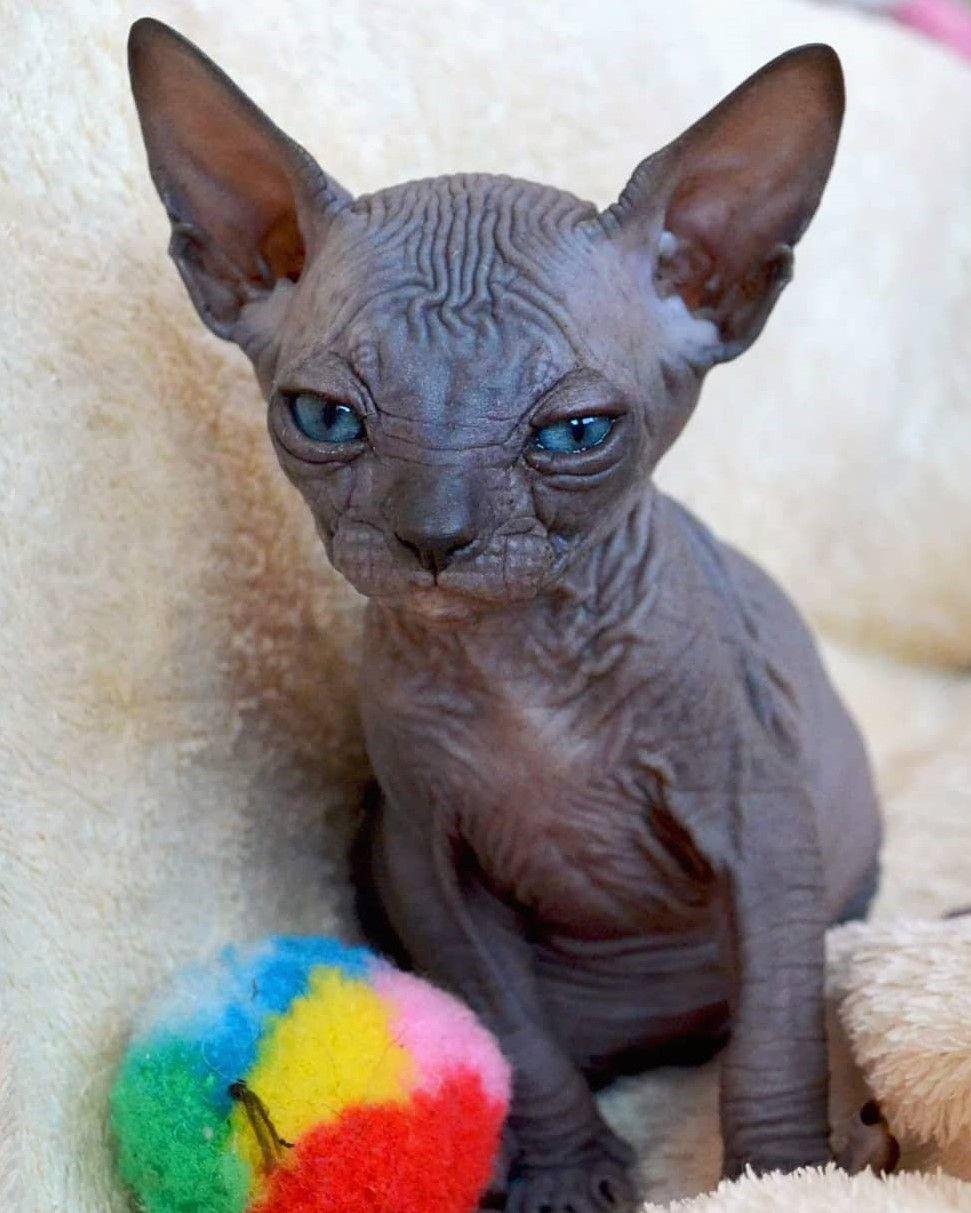 sphynx kittens for sale california in 2020 Cute hairless