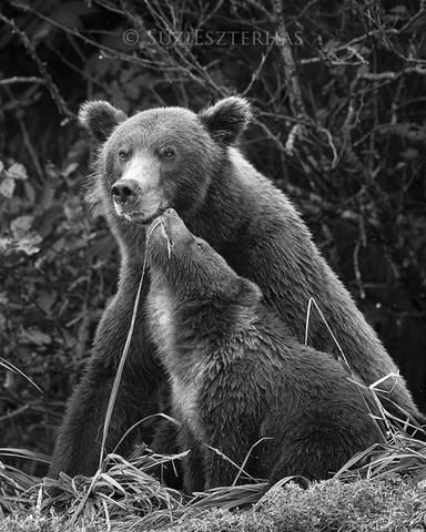 Baby grizzly bear nuzzling mom - an original black and white photo from Suzi Eszterhas - perfect for your nursery, playroom, or pediatric office decor