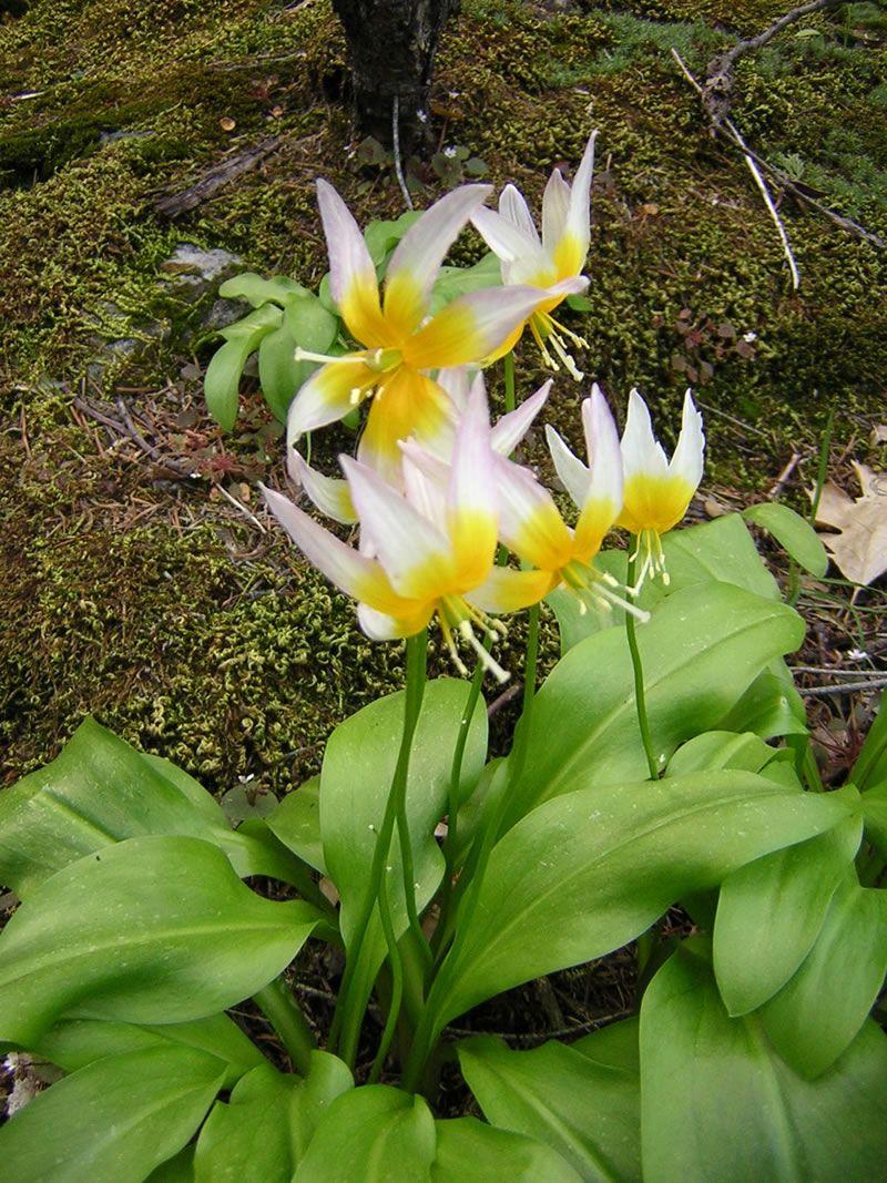 Erythronium taylorii - Taylor's Fawn Lily