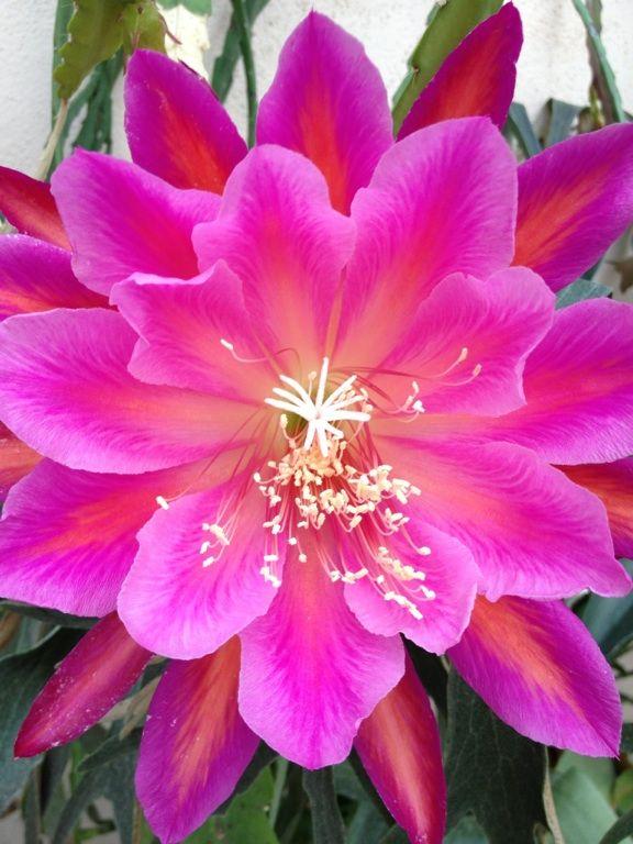 ✯ Epiphyllum (stunning)