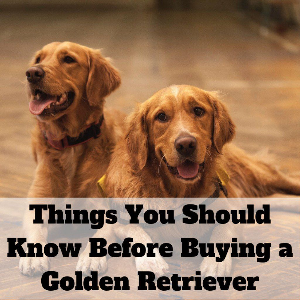13 Things To Consider Before Buying A Golden Retriever Golden Retriever Baby Red Golden Retriever Puppy Golden Retriever