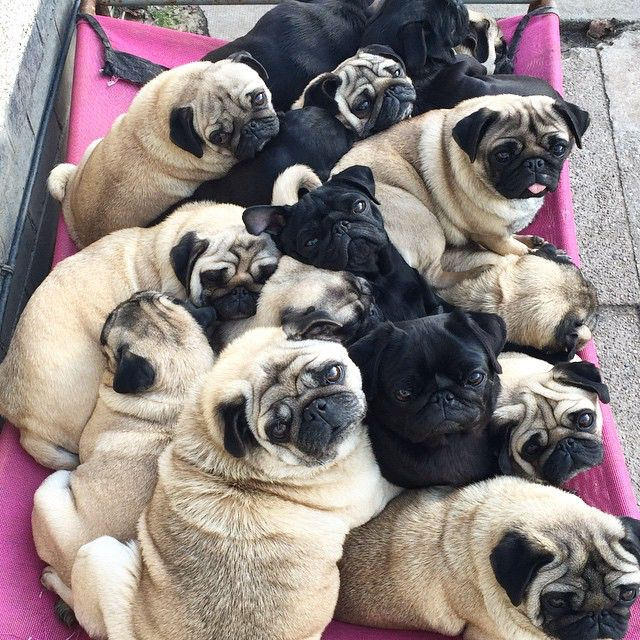 Check Out Trending Posts For Pug Hashed Is Where You Follow