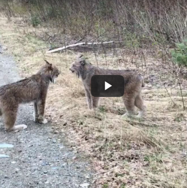 This Hilarious Video Shows Two Lynx Yelling At Each Other Like Humans Small Wild Cats Cats That Dont Shed Cat Lover Quote