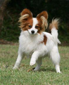 White Brown Papillon Haircuts For Longhair Papillon Puppy Papillon Dog Papillion Dog