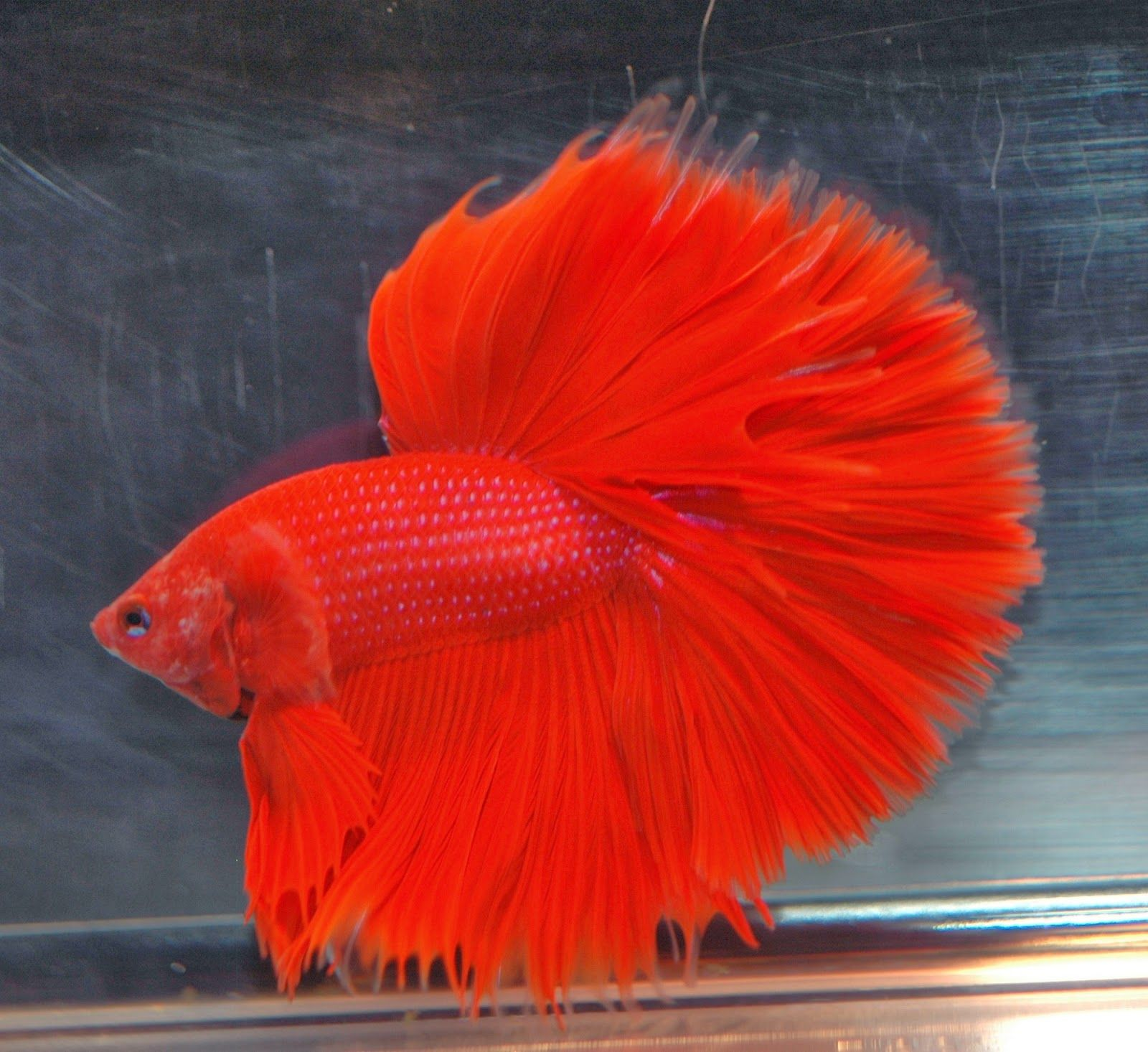 Images for most beautiful fish in the world betta fish for Fish world on facebook