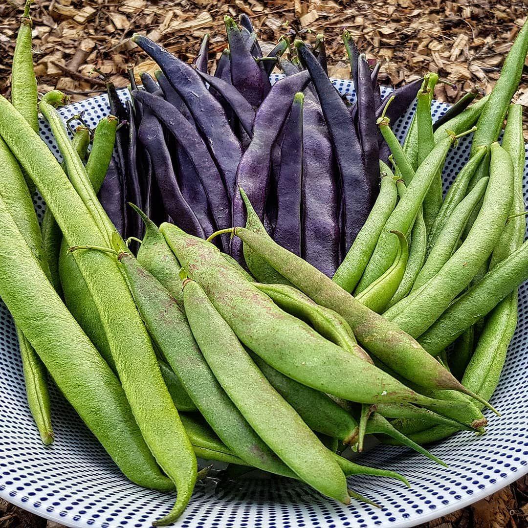 The Beans Have Been A Little Slow This Year But I M Starting To Get Good Harvests Now Runner Bean Firestorm Climbing B Veg Patch Runner Beans Front Garden