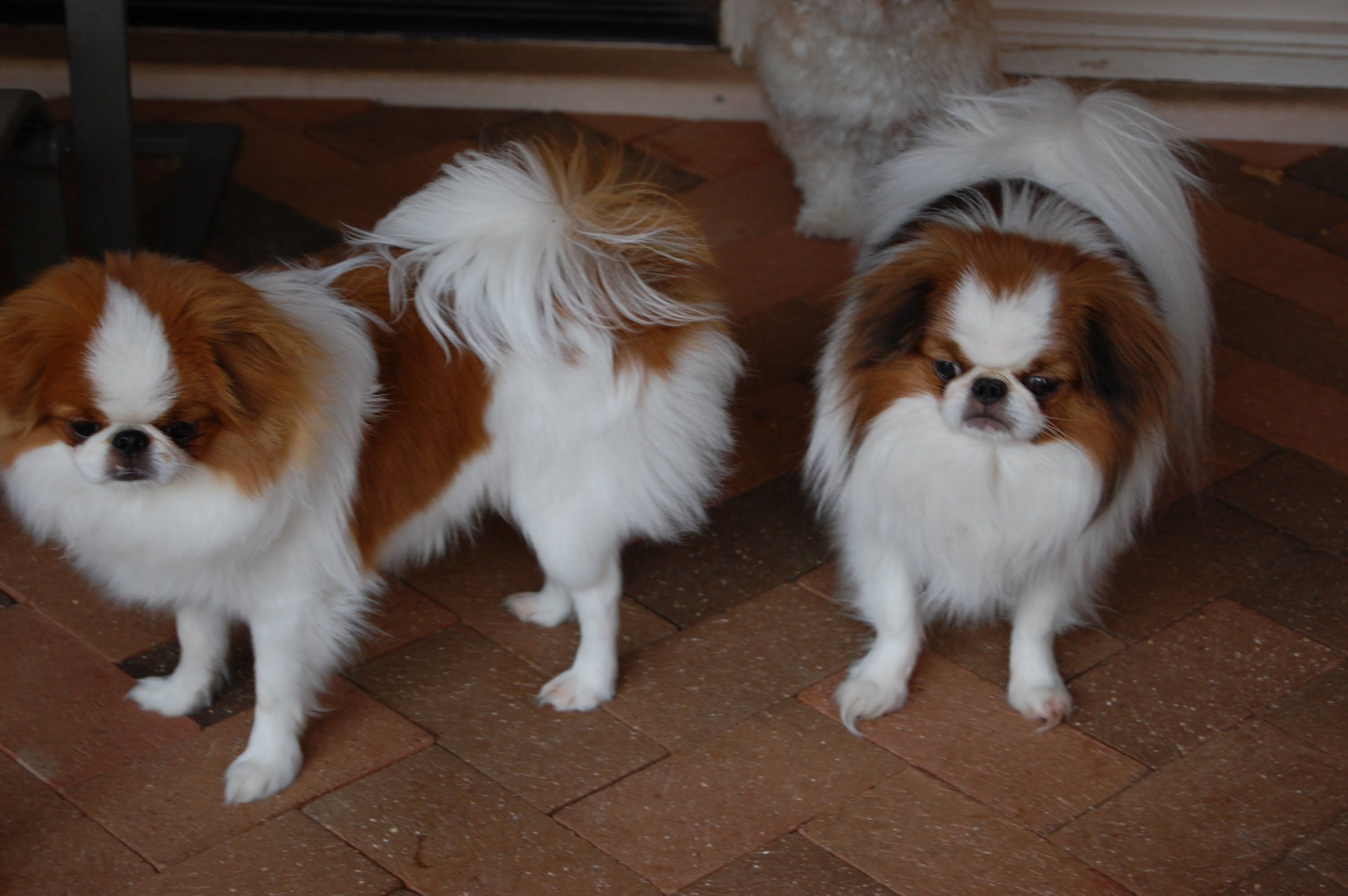 Japanese Chin Puppies For Sale In Houston Texas Tx Mcallen