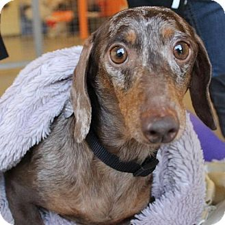 Pin By Michael Mancinelli On I Love Wieners Dachshund Mix Pets