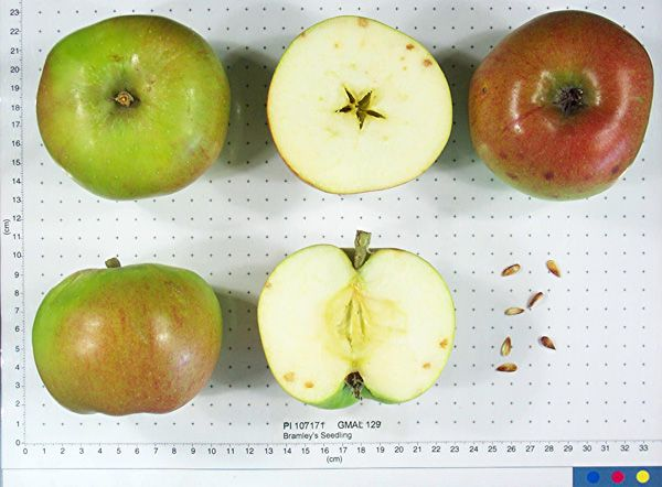 Bramley S Seedling Apple Bramley Apple Apple Varieties