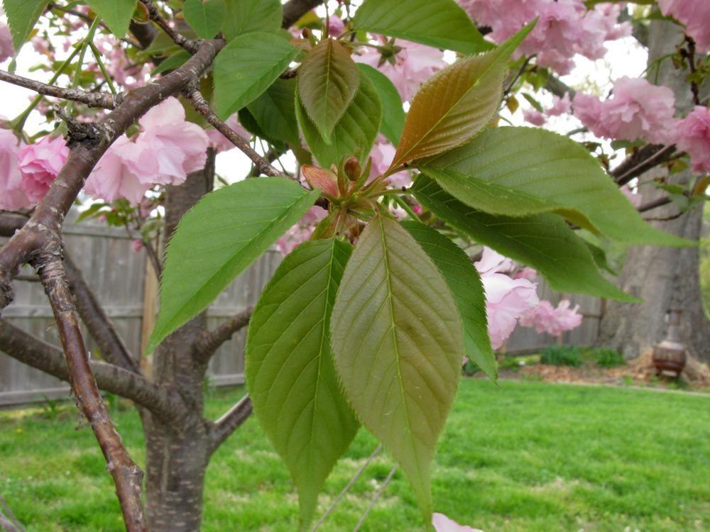 Photo Of Japanese Flowering Cherry Prunus Serrulata Kanzan Uploaded By Blue23rose Japanese Flowering Cherry Prunus Serrulata Prunus