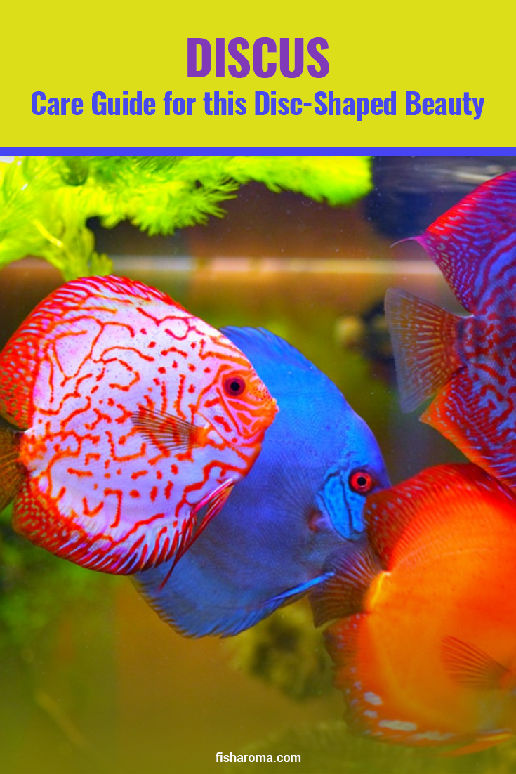 Discus Care Guide For This Disc Shaped Beauty Tropical Freshwater Fish Fresh Water Fish Tank Discus Fish