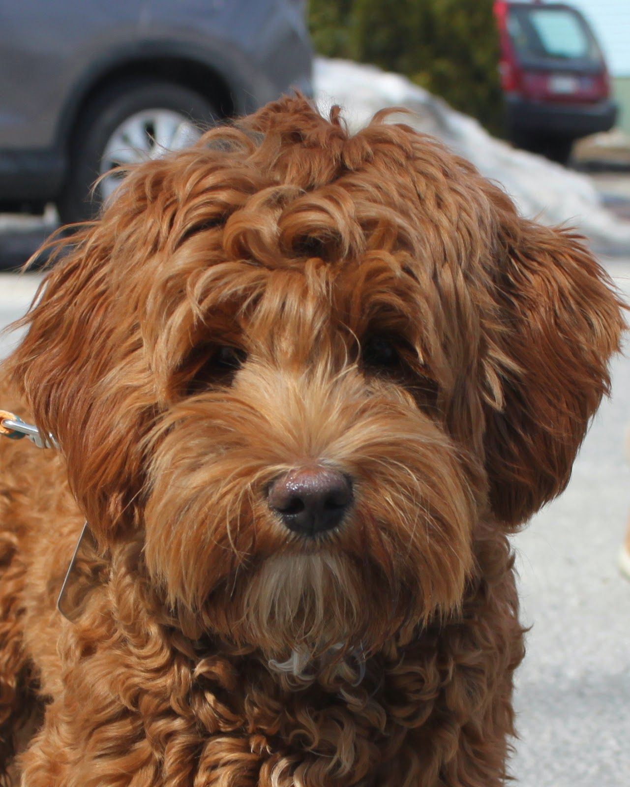 Labradoodle Breeders In New England Labradoodle Dogs For