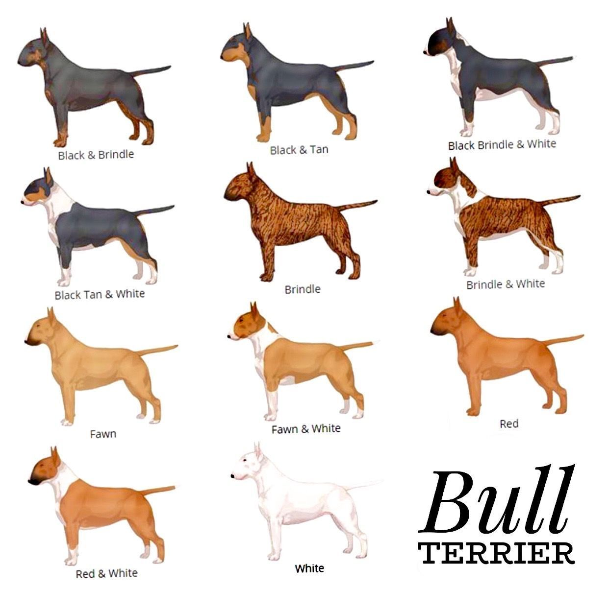 Pitbull Terrier The Different Coats Of Bull Terriers