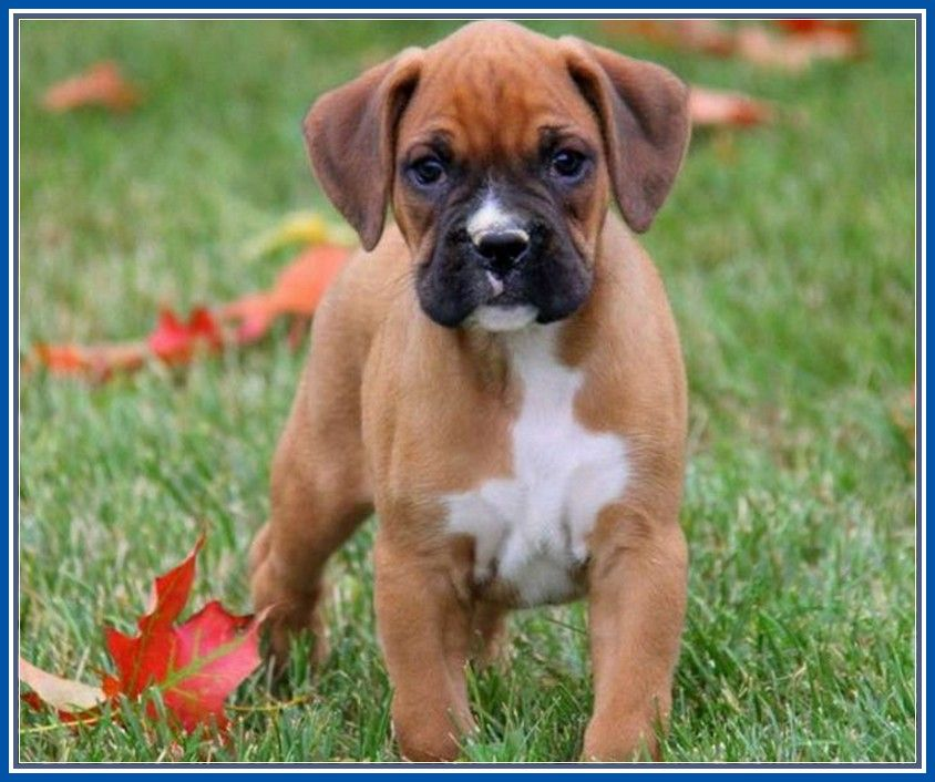 Cool Toy Miniature Boxer Puppies Boxer Puppies Boxer And Baby