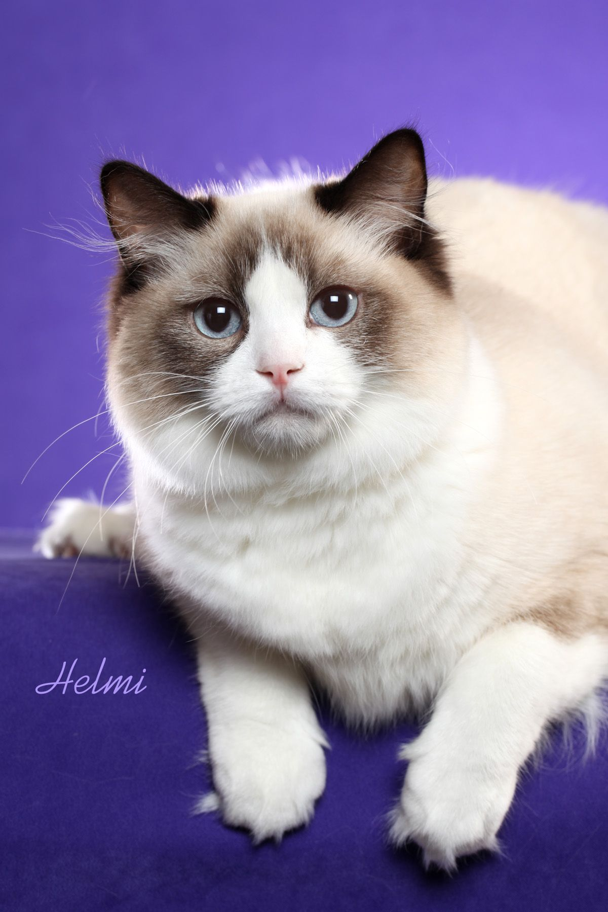 25  Adorable Ragdoll Kittens for Adoption