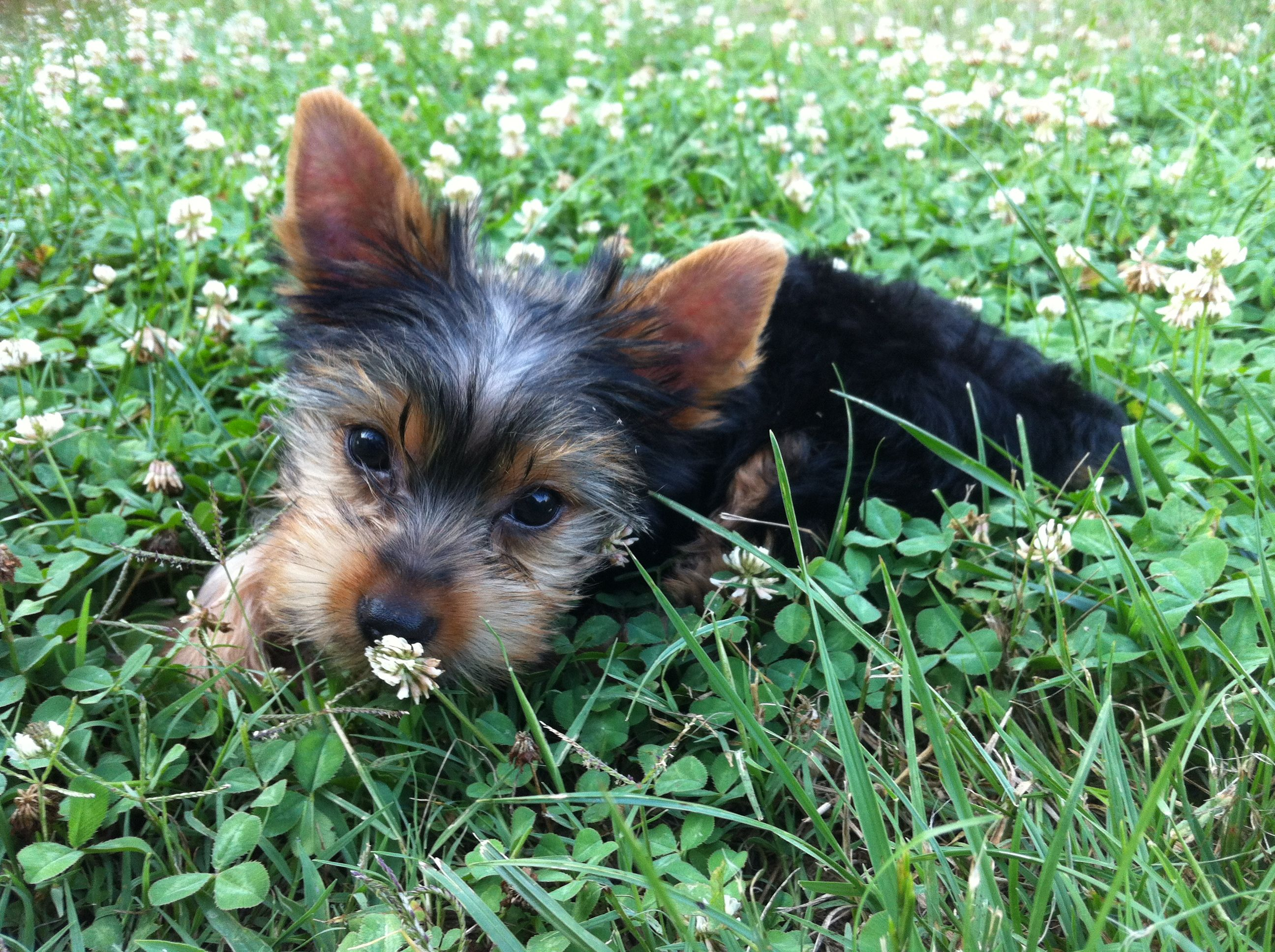 12 week old yorkie dogs and puppies yorkie puppies