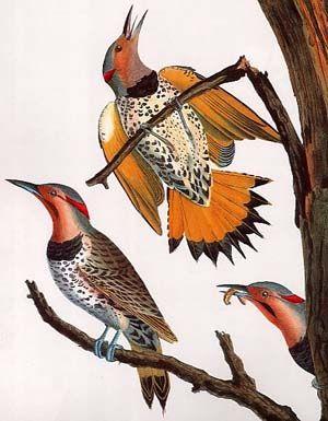 Northern Flicker Yellowhammer Alabama S State Bird State Birds Northern Flicker Bird