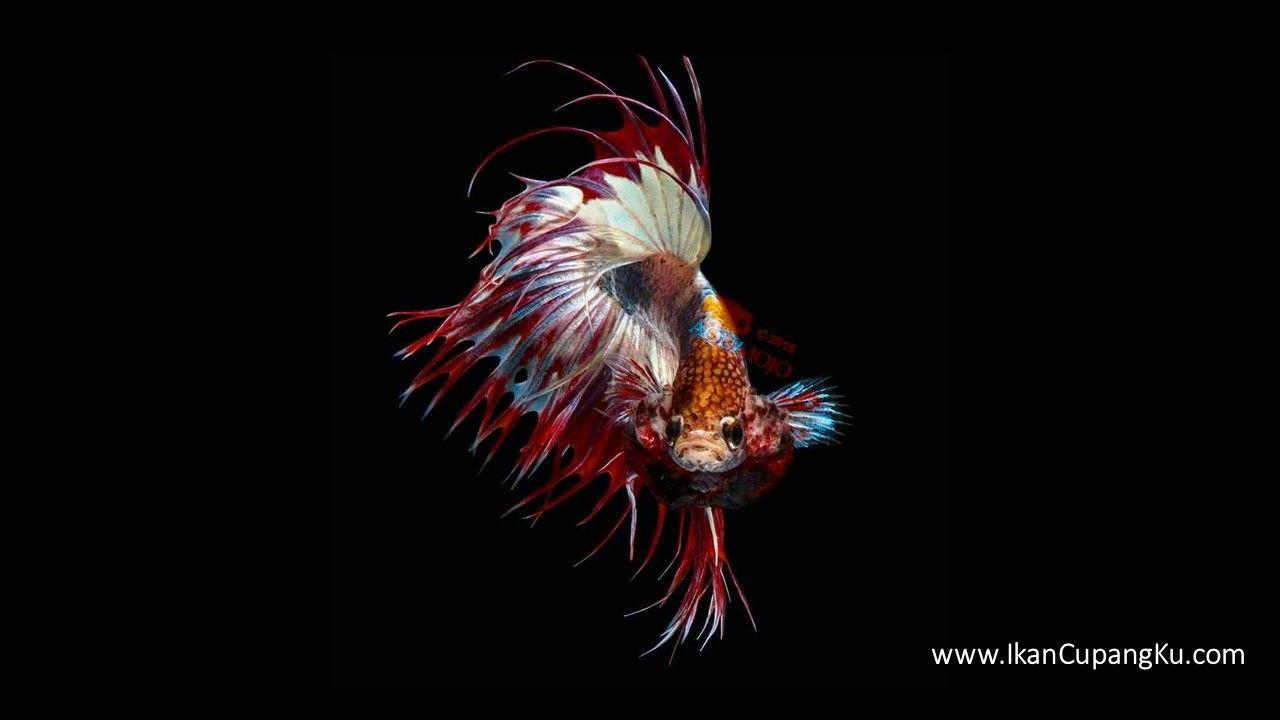 Kumpulan Wallpaper Ikan Cupang Hias dengan Warna Cantik ...