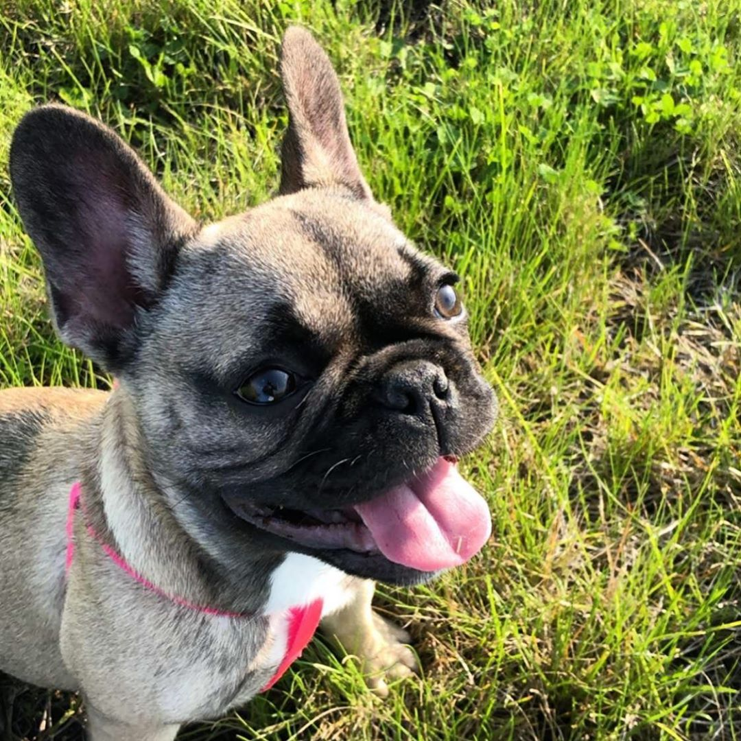 Suns Out Tongues Out Fargofrenchie Ellie Summer French