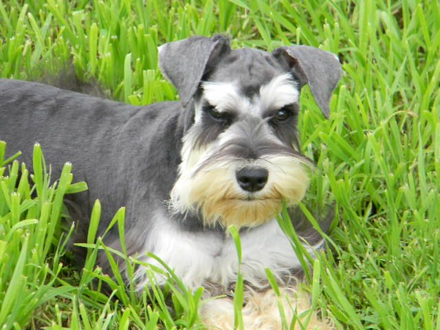 Neon Breathtaking Black And Silver Miniature Schnauzer Miniature Schnauzer Schnauzer Miniature Schnauzer Puppies
