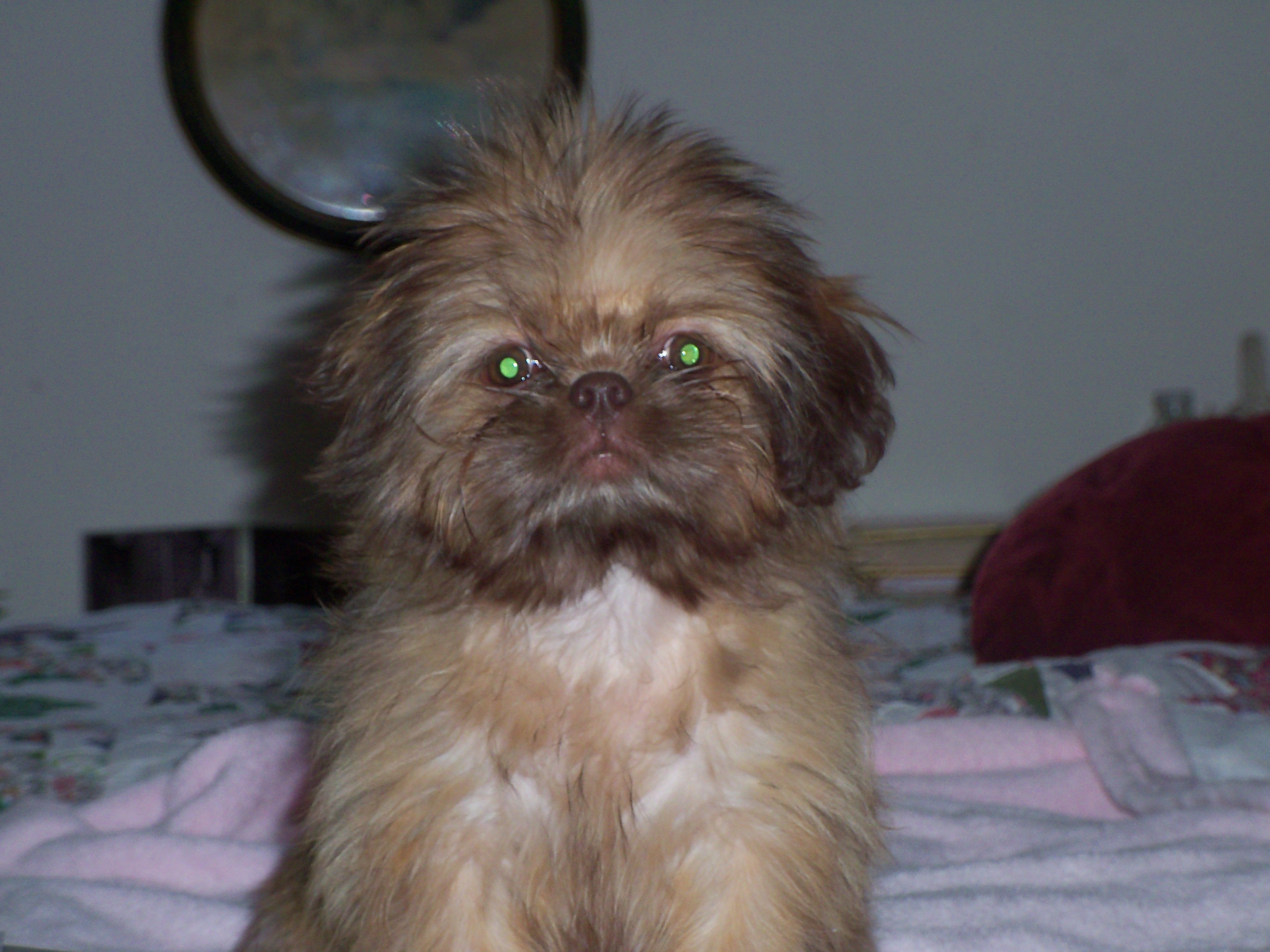 Kiwi A Liver Shih Tzu She Is Totally Brown Colors Eyes Lips