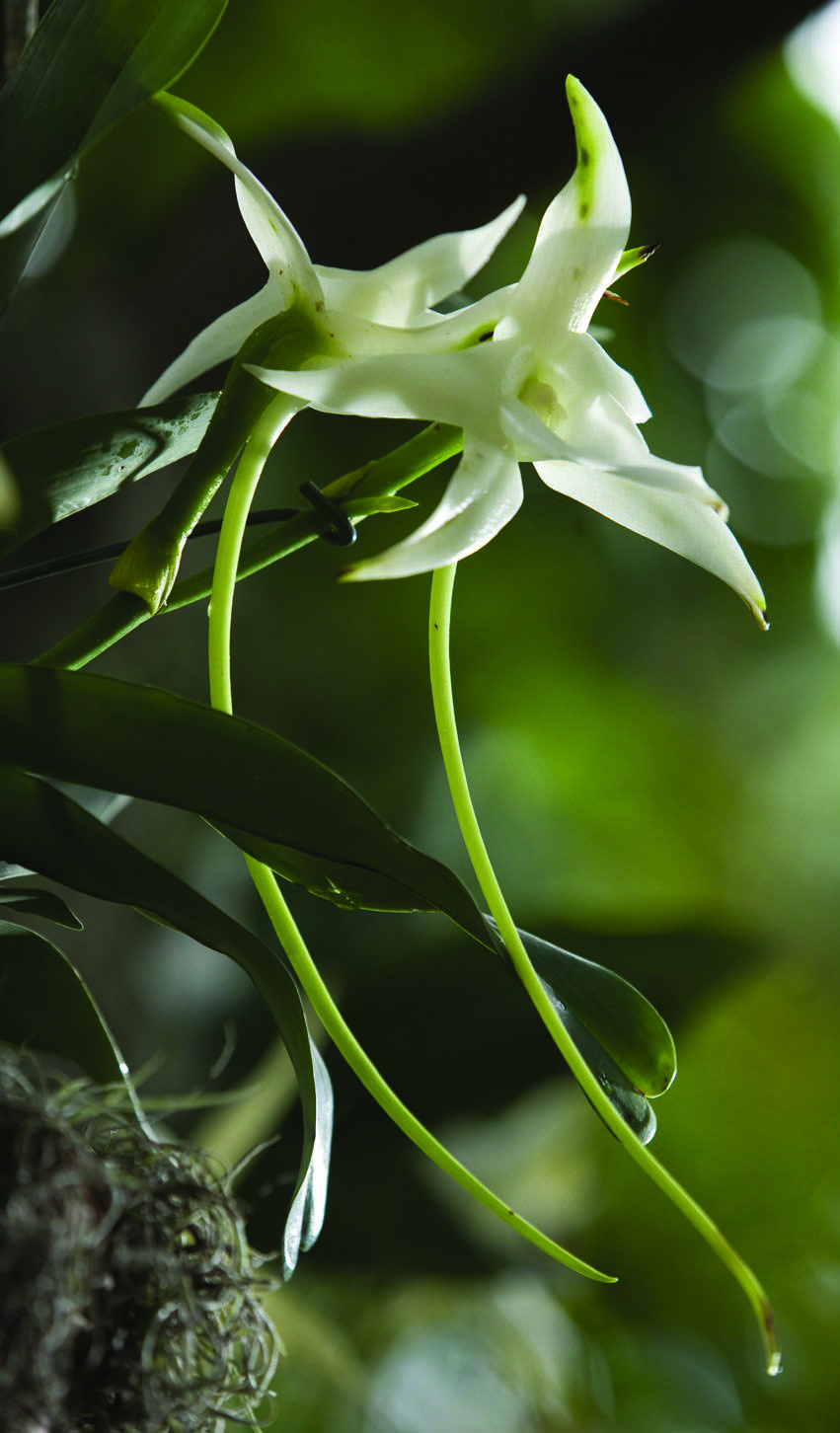 I love the endangered Darwinus orchid Angraecum sesquipedale